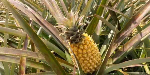 Диета ананасовая для похудения