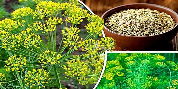 Укропное семя – лечебные свойства и противопоказания
